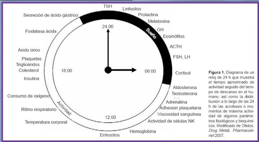 Diagrama de um relógio com a produção de hormonas e outras substâncias ao longo de 24h